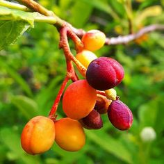 And here come the beautiful Osoberries! Soon they will turn a deep dark purple and be ready for picking. They taste like a cross between cherry &  cantelope and make wonderful syrups & cordials.~ Danielle