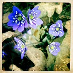 Blåsippor, lovely blue spring flowers in Sweden. Swedish Style, Scandinavian Style, Welcome To Sweden, About Sweden, Swedish House Mafia, Alesso, Blue Springs, Spring Flowers, Garden Plants