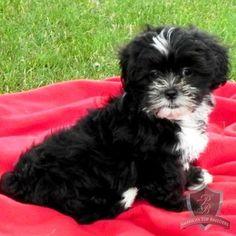 Mal-Shi puppy - Mr. Max