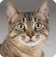 Chicago, IL - Domestic Shorthair. Meet Longfellow a Cat for Adoption.