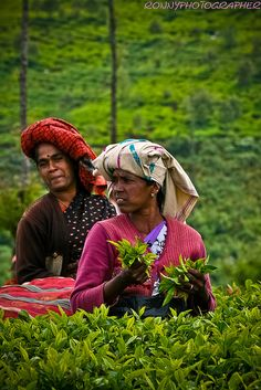 women at work pick tea leaves in the fields near Ooty, Tamil Nadua, southern India.  Photo: anthony pappone photographer, via Flickr