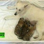 Rejetés par leur mère dans le zoo de Sotchi, en Russie, ces 3 bébés tigres ont trouvé refuge avec cette chienne, un beau berger suisse blanc du nom de Talli qui allaite les petits félins. Cette situation ne va sûrement pas durer longtemps car les...