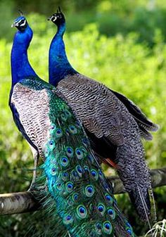 Peacock and Peahen. Well actually not since both are Indian Blue. It takes 3 years to grow a tail and the one on the right is either younger or went into an early moult.