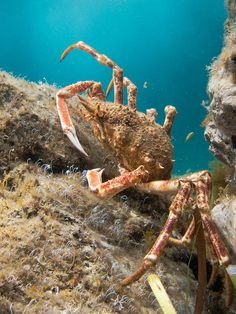 Spider Crab, via Flickr. I caught and ate one of these in Santa Barbra, California.