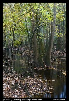 Trees with fall color in slough. Congaree National Park (color)