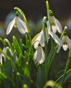Glorious snowdrops and Spring sunshine!