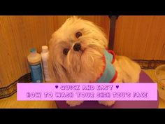 Quick and Easy Shih Tzu face wash - prevent tear stains - How to groom your Shih Tzu - YouTube