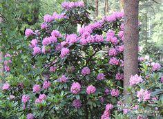 A park in Helsinki. - Haagan Alppiruusupuisto (Rhododendron)