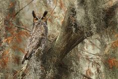 https://flic.kr/p/PqsrEg | Great-horned Owl, Central Florida | trip Dates: 5 full days, March 27 - 31, 2017  Photo Tour Fee: $2800 Includes 3 air-boat outings, in-the-field guiding and instruction. Does not include lodging or meals  Deposit: $600  From: Orlando, Florida  Leader(s): Matthew Studebaker  Target Group Size: 4 photographers limit  Our trip will begin in Kissimmee, Florida. Here we will spend three sessions on a lake photographing a variety of waterbirds as well as photographing…