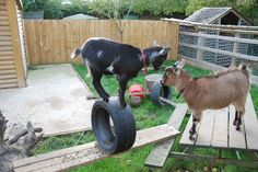 Wooden lawn furniture, some planks, some old tires, and a tree stump. A jungle gym for goats Raising Farm Animals, Raising Goats, Miniature Goats, Miniature Cattle, Goat Playground, Goat Toys, Goat Shed, Goat Shelter, Goat Care
