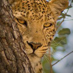 ~~ Leopard (Panthera pardus) in Moremi Wildlife Reserve, Botswana ~~
