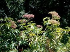 Sambucus canadensis - elderberry   attracts birds if you don't pick the lovely berries for your own jellies...will spread through suckers