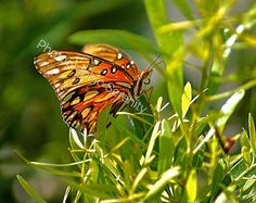 Passion Butterfly-Butterfly Photograph-Wildlife Photography-Nature Photography-Digital Download
