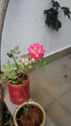 Flor rosa com dois tons