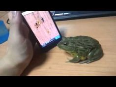 How to piss off a frog.  Hysterical...