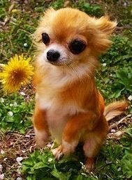 Cute Chihuahua, awww, this #chihuahua looks like my dog foxy, though we still dont know what breed of dog he is exactly. Love Your Dog? Visit our website NOW! ---- Love Your Chihuahua?? Visit our website now!