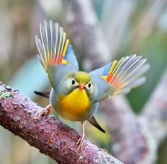 Red-billed leiothrix by . Most Beautiful Birds, Pretty Birds, Love Birds, Beautiful Creatures, Animals Beautiful, Cute Animals, Exotic Birds, Colorful Birds, Bird Pictures