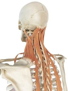"Why does the ""spot"" at your shoulder get so tight?: Levator Scapula Muscle - Attachments, Action, Nerve"