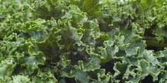 """It seems that everyone is talking about the newest """"super food"""", kale. This leafy vegetable looks like some type of lettuce but experts consider it more like wild cabbage. It comes from the same species that brings us broccoli, Brussels sprouts, cauliflower and collard greens. What is it about this vegetable in particular that has created such a buzz and why should you consider incorporating it into your regular diet? New Food Trends, Organic Vegetables, Kale Vegetable, Kale Kale, Vegetable Garden, Fad Diets, Garden Seeds, Weight Loss Program, Superfoods"""