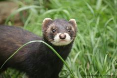 A Polecat is a nocturnal European Weasel European Polecat, Ferrets, Marine Life, Pets, Animals, Funny Memes, Animales, Animaux, Ferret