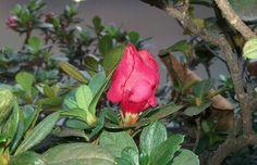 Flores azalea