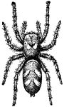 The body of a spider consists of two parts, connected by a constricted waist, the unsegmented cephalpthorax and a large, soft, unsegmented abdomen.
