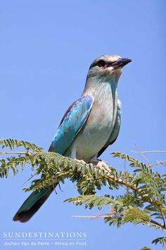 European roller : This bird breeds in Europe and migrates to the Kruger during the Summer months. #birding #europeanroller #krugerbirds #birdsafari