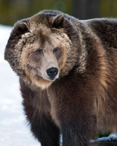 Grizzly & Wolf Discovery Center, West Yellowstone, Montana //