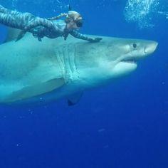 Monster Great White shark swims with divers off Hawaii coast Freshwater Aquarium, Aquarium Fish, Jellyfish Aquarium, Cool Sharks, Whale Sharks, Sea Shark, Shark Photos, Great White Shark Pictures, Shark Swimming