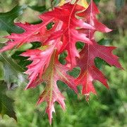 Quercus coccinea (Scarlet oak) Quercus coccinea (Scarlet oak) Click image to learn more, add to your lists and get care advice reminders each month.
