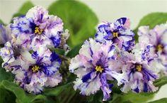 African Violet Saintpaulia RS Serpantin Russian | eBay - RS - Serpantin Hybridized by: Svetlana Repkina Large, white flowers with pink and blue fantasy. Medium green foliage. Standard