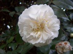 Camellia japonica 'Adolpho F. Möller' (Portugal, 1892)