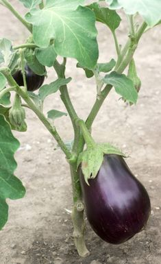Cutting Back Eggplant Stems – Should I Prune My Eggplants Eggplants are big, very productive plants that can grow for years if they're protected from the cold. But sometimes they need some help, especially as they get older, to reach their full fruiting potential. Find out if eggplant pruning is right for you in this article.