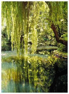 weeping willow over water