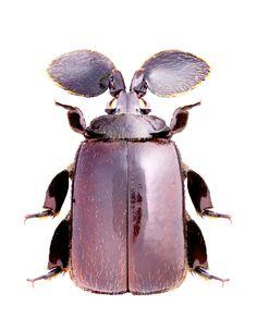 Platyrhopalopsis melee - CARABIDAE subfamily Paussinae