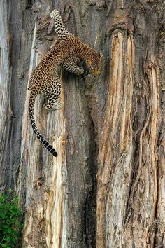 Leopard (Panthera pardus) Tap the link for an awesome selection cat and kitten products for your feline companion!