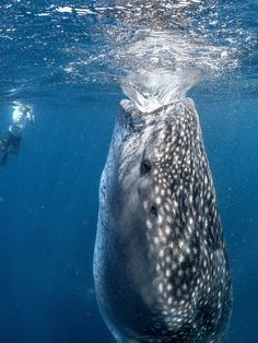 WHALE SHARK IN MEXICO We would love to see one of these off the coast of the Yucatan Peninsula, however we will have to go there in the summer when it is oh so hot.