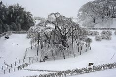 雪桜_三春の滝桜