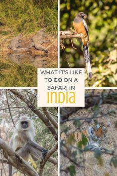 India's Ranthambore National Park is a top tiger sanctuary in India, and one of the best places in the country to enjoy a safari. Here's what it's like to go tiger tracking. India Travel, India Trip, India India, North India, Gir Forest, India Destinations, Jim Corbett National Park, Wild Tiger, Vacations To Go