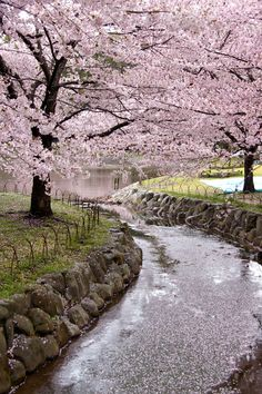 Lovely cherry blossoms! A dip in this river would be amazing! #Japaneasy