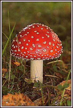 Joulunpunainen kärpässieni Fall Photos, Finland, Photo Shoot, Stuffed Mushrooms, Autumn, Fruit, Nature, Arrows, Fungi