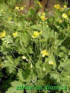 Vlaštovičník větší | Zdraví na dlani Herb Garden, Garden Plants, Home And Garden, Kraut, Korn, Planting Flowers, Healthy Life, Life Is Good, Detox