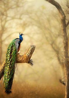 A PEAFOWL SCAPE ! by varun Aditya