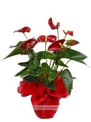 Antoryum saksı çiçeği siparişi için http://www.cicekvitrini.com/cicekler/cicek-siparisi-ver