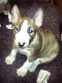The day is nearly here. After loving the Bullys from afar for many years I am finally getting one of my own!!! She will be with us in a week's time. Everybody meet Darcy - My Miniature Bull Terrier.