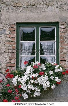 Stock Photo of White petunias and red geraniums in window-box below window with lace curtains in country cottage u21335642 - Search Stock Photography, Print Pictures, Images, and Photo Clip Art - u21335642.jpg