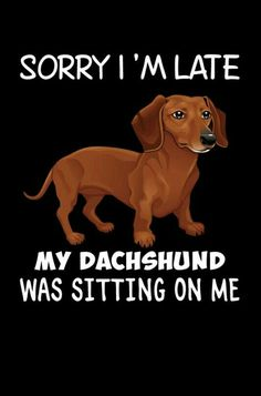 My dachshund only sits on me if i have food and even that is pushing it Dachshund Quotes, Funny Dachshund, Mini Dachshund, Dachshund Puppies, Weenie Dogs, Dog Quotes, Doggies, Chihuahua Dogs, I Love Dogs