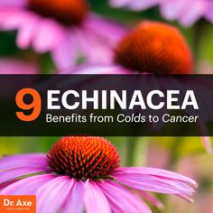 Echinacea benefits   http://www.draxe.com  #health #holistic #natural