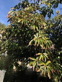 Avocado Tree issues - does this look like reaction to not enough water? #gardening #garden #DIY #home #flowers #roses #nature #landscaping #horticulture