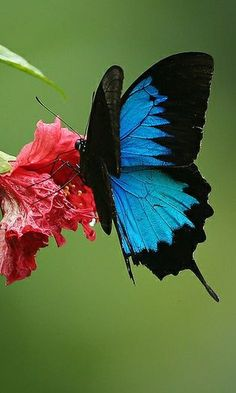Ulysses Butterfly by Greg Miles @ Flickr
